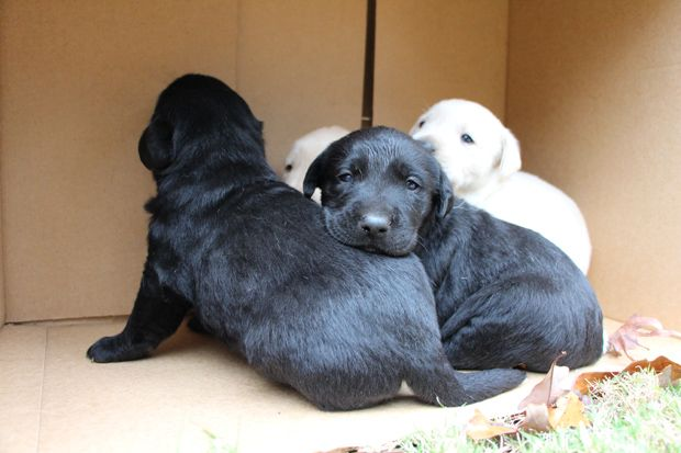 """Here we go again. Just when we adopt out 4 little abandoned Lab puppies, we get 8 plus one gorgeous momma left outside a shop. Labrador Friends of the South will insure that these little cuddly Labrador Puppies will have a Happy Ending.   Just remember... before you go and """"Buy"""" a Lab puppy, see if any of your local Labrador Rescues has any in their care looking for a Forever Home. Adopt a Lab, Save a Life."""
