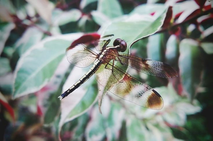 Brown colour beautiful Dragonfly