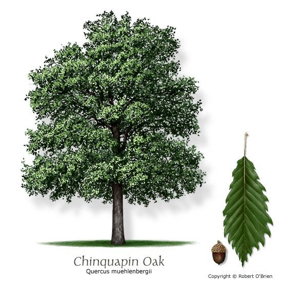 Chinkapin oak. An excellent native shade tree that can withstand drought. It is a good shade tree and has a pretty, serrated leaf, but its fall color is not spectacular. It and the bur oak are members of the white oak family, considered less susceptible to death from oak wilt disease, which is present in North Texas. possible backyard tree