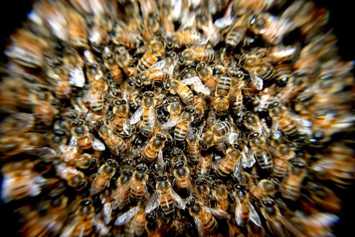 Lebah Pada umumnya ada 3 jenis tipe lebah dalam satu sarang:    Seekor ratu   Beberapa jantan (untuk membuahi calon ratu baru)   Ribuan betina pekerja.  Sang pekerja bertugas mengurus larva, mengumpulkan nektar yang akan dibuat menjadi madu, serta mencari nectar (sari bunga).  Mereka merupakan sekelompok besar serangga yang dikenal karena hidupnya berkelompok meskipun sebenarnya tidak semua lebah bersifat demikian. Semua