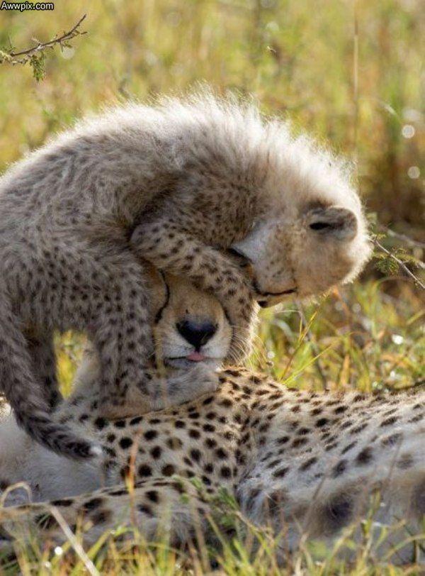 Mom! Mummy! Mama! Mom! Mom! Mooooooom!!: Wild Animal, Cheetahs, Babies, Big Cats, Mothers, Bigcats, Baby Animals, Mom