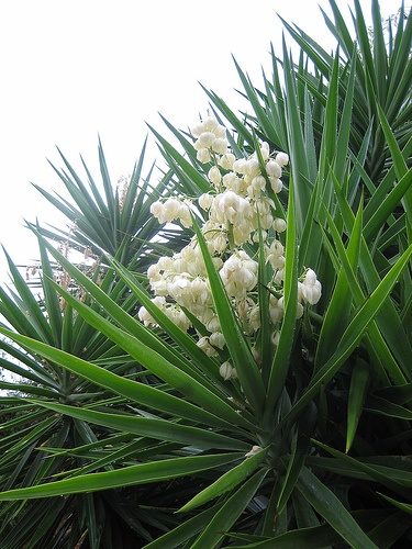 Les 25 meilleures id es de la cat gorie yukka plant sur for Bouture yucca exterieur