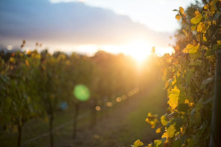 Sunset in the vineyards of the Franschhoek wine valley. Do you love wine tasting as much as we do?