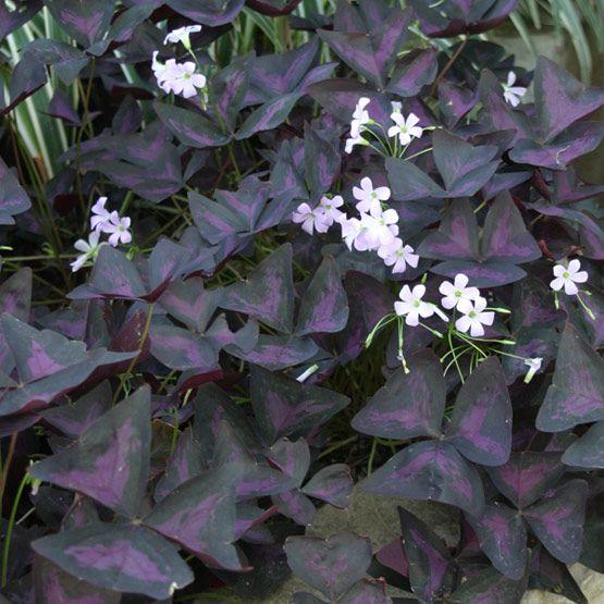 25 best ideas about purple shamrock on pinterest shamrock plant shade plants and insect - Shamrock indoor plant ...