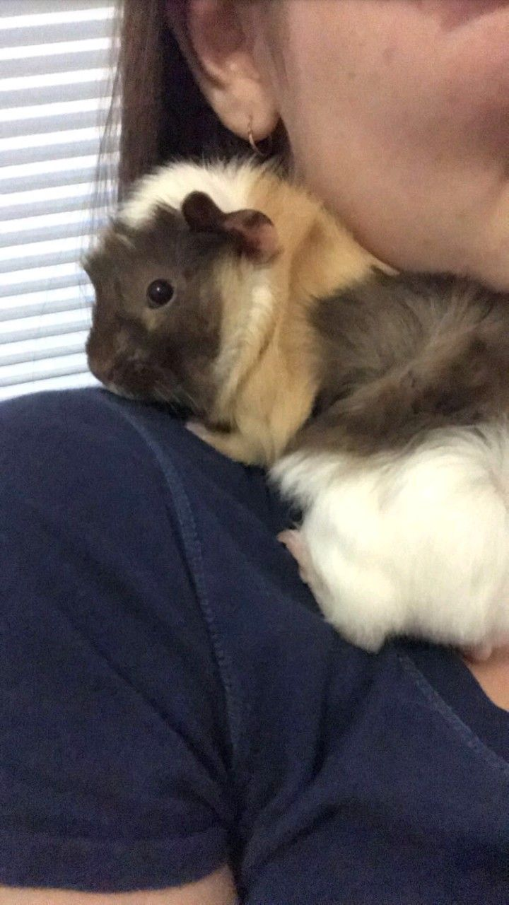 Roberto the guinea pig when he is sad