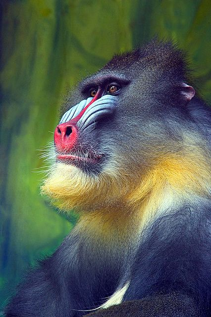 The mandrill (Mandrillus sphinx) is a primate of the Old World monkey family, closely related to the baboons.  Mandrills mostly live in tropical rainforests and forest-savanna mosaics, in groups called hordes. Their diet is omnivorous, consisting mostly of fruits and insects.  #nature #photography #mytumblr