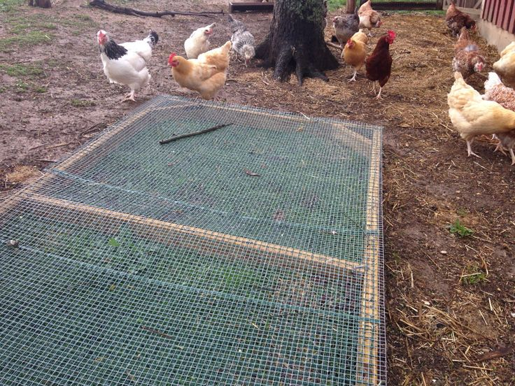 Seed the run and keep the box there, chickens can't get at the root!  Click on link for a healthy grass seed mixture recipe for chickens!