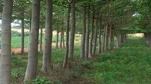 Imagini pentru copaci paulownia