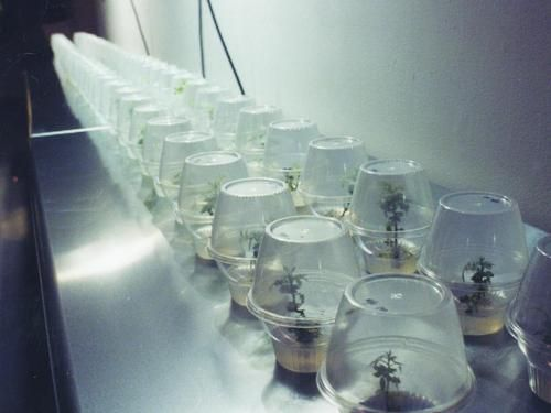 """Natalie Jeremijenko, """"OneTrees"""", 1,000 genetically identical trees, first exhibited as young seedlings at San Fransisco's Yerba Buena Center for the Arts, then paired up and planted throughout the San Francisco Bay Area in Spring 2003."""