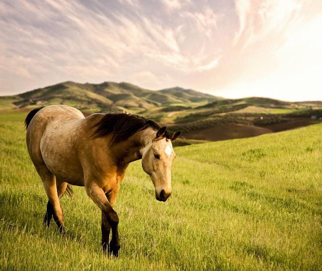 Meet the Tennessee Walking Horse: A Tennesse Walker Gelding.