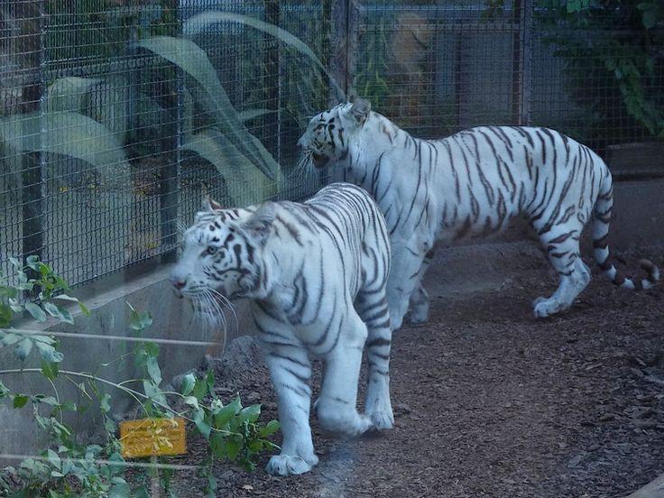 fehér tigrisek