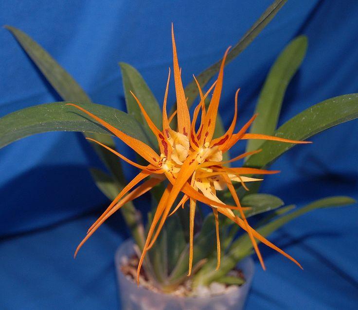 Brassia Orange Delight Hilo Sunrise Orchidaceae