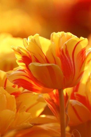 Yellow Kissed With Orange