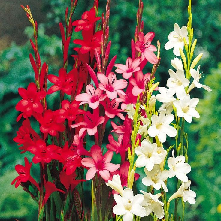 Watsonia Bugle Lily Mix (Pack of 3)