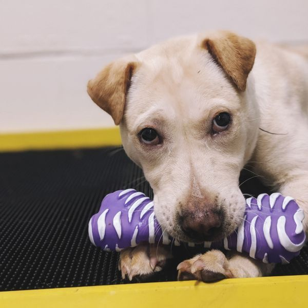 Skippy P 2 Adoptable Dog Puppy Female Shar Pei Mix Dog Adoption The Shelter Pet Project Puppy Care