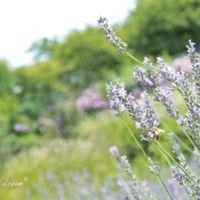 ラベンダーの花畑でお花摘み。「ドライフラワー」や「押し花」をつくろう。