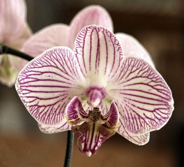 ΛΕΜΟΝΙ ΚΑΙ ΚΑΝΕΛΑ: Ορχιδέες Phalaenopsis