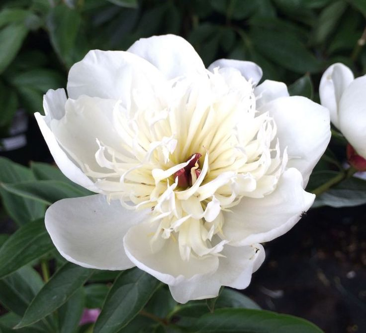 Immaculee - Herbaceous Peony / Paeonia - 1st & 3rd terrace planting