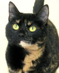 "Tehya is an adoptable Tortoiseshell Cat in Saint Paul, MN. Relaxing Tortie Power ""Hello! Hello! Notice me! Play with me"