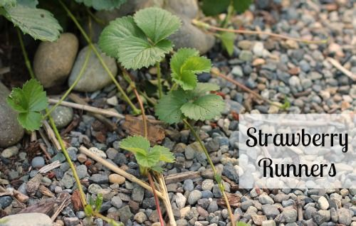 replanting strawberry runners to create a  new strawberry patch
