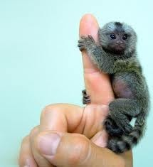 Its not a product, its a thing.  I want a finger Monkey!  SO CUTE