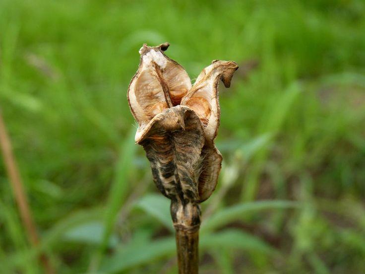 Tulpen Samen ernten + säen. Sobald die Kapseln aufplatzen entnimmst Du den Samen und füllst einen größeren Tontopf zu 3/4 mit einer gut durchlässigen Erde. Darauf kommt eine dünne Schicht (ca. 3 mm) gewaschener Sand. Hierauf säst Du aus. Die Samen werden dann noch mit einer Schicht von kleinen Steinen (z.B. Aquarienkies) bis zum Rand des Topfes abgedeckt.  Der Topf wird so an einer Stelle im Garten eingesenkt, an der alle Witterungseinflüsse einwirken können…