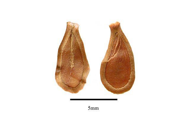 http://www.ars-grin.gov/npgs/images/sbml/Toxocarpus_wrightianus_seed.jpg