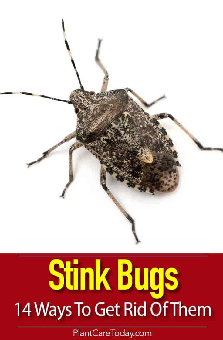 0ed7f2fb9a8a0c914e3dc5fe3c414ddd - How To Get Rid Of Stink Bugs At Home