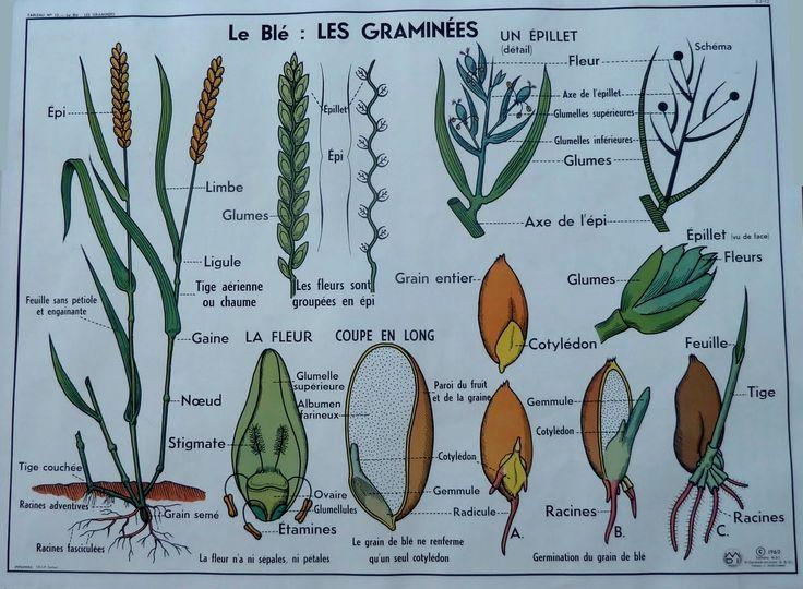 Le blé : les graminés (affiche scolaire)