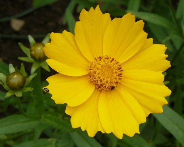 """Krásnoočko velkokvěté - Coreopsis grandiflora """"Heliot"""" :: LEVNE ROSTLINY . CZ"""