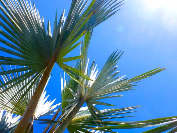 66 best Real Palm Trees Identification images on Pinterest   Palm ...