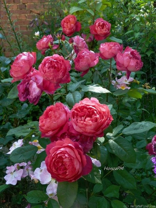 """Benjamin Britten"" a David Austin rose. Love the shade of pink and fullness of the rose."