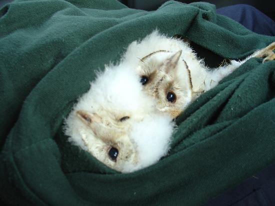 Turbary Woods Owl and Bird of Prey Sanctuary: Rescued Barn owlets, waiting to be put back in the nest Box