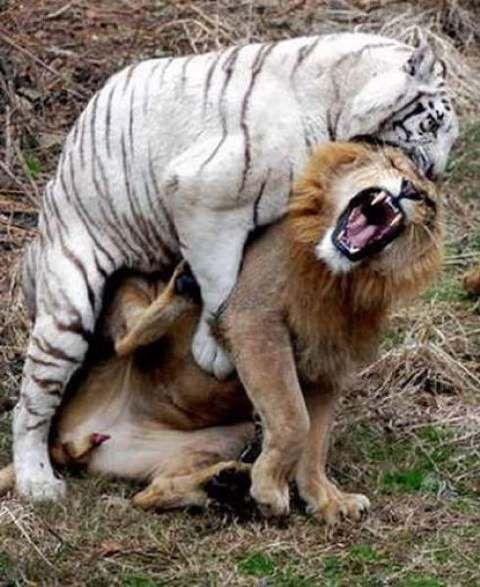 peleas animales salvajes