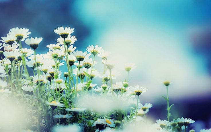 White Gerbera Daisy Flower Photography HD pictures & Wallpapers ...