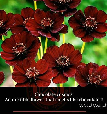Chocolate Cosmos- An inedible flower that smells like chocolate !