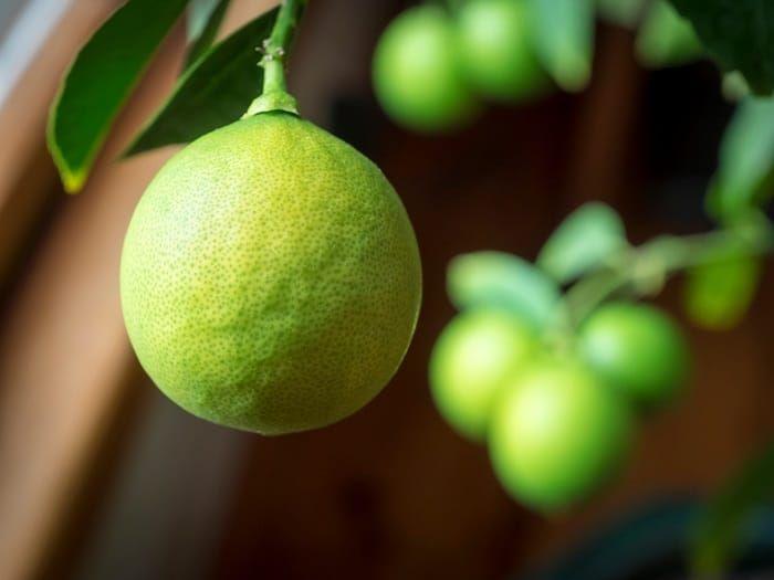 The Best Fertilizer For The Unique Meyer Lemon Tree Gardening Dream Meyer Lemon Tree Citrus Plant Meyer Lemon