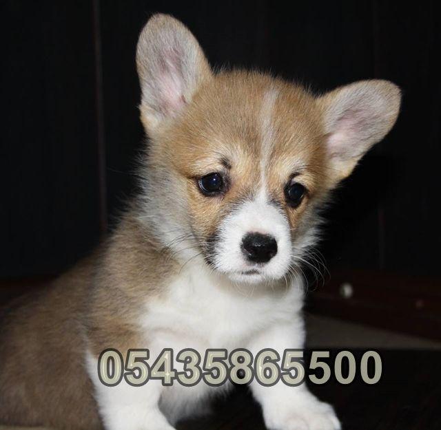 Satılık Welsh Corgi Yavruları   Bursa Köpek Çiftliği http://www.heavendog.net/satilik-welsh-corgi-yavrulari.html