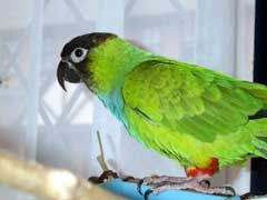 Nanday Conure Care - http://www.mypetarticles.com/nanday-conure-care/#more-205