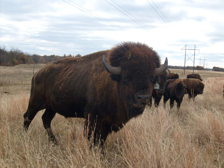 Bison Oklahoma 93 best images about N...
