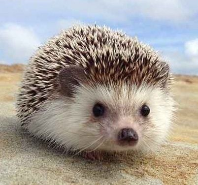 The perfect little hedgie.