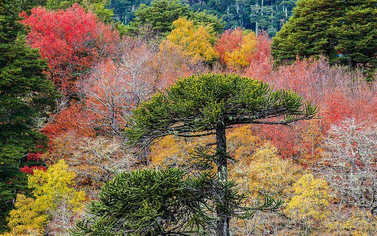 Araucaria rodeada de colores (Parque Nacional Conguillio, Chile)