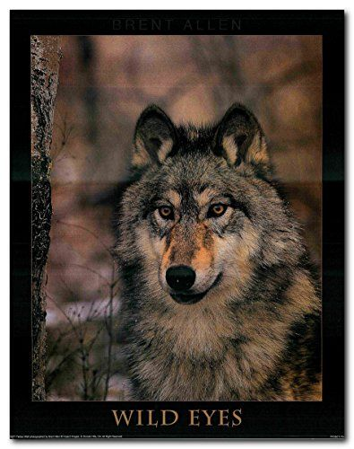If you want to make a big impact in your living room? Add this wonderful timber wolf animal art print poster. This poster captures the image of a grey wolf with a big brown eyes looking at you is sure to grab lot of attention. This poster delivers a sharp vivid image with a high degree of color accuracy which ensures long lasting beauty of the product. Order today and enjoy your surroundings.