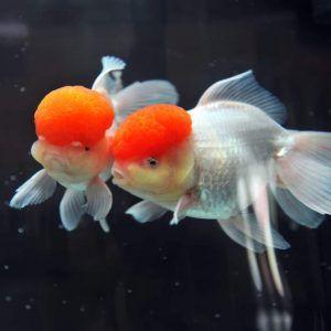 Previeni l'Idropisia nei pesci rossi imparando a riconoscere i primi sintomi