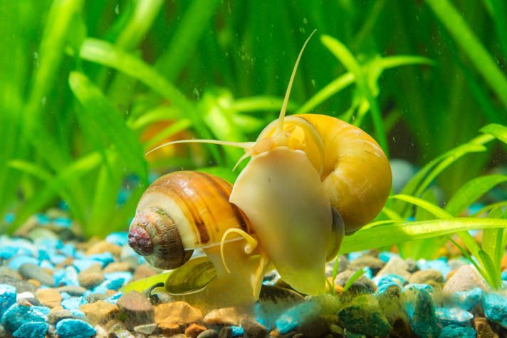 25 best aquarium snails ideas on pinterest freshwater for Snails in fish tank