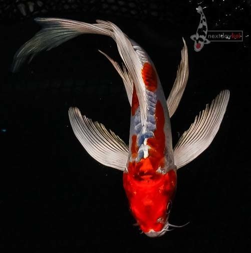 17 Best Images About Creatures Koi Fish On Pinterest