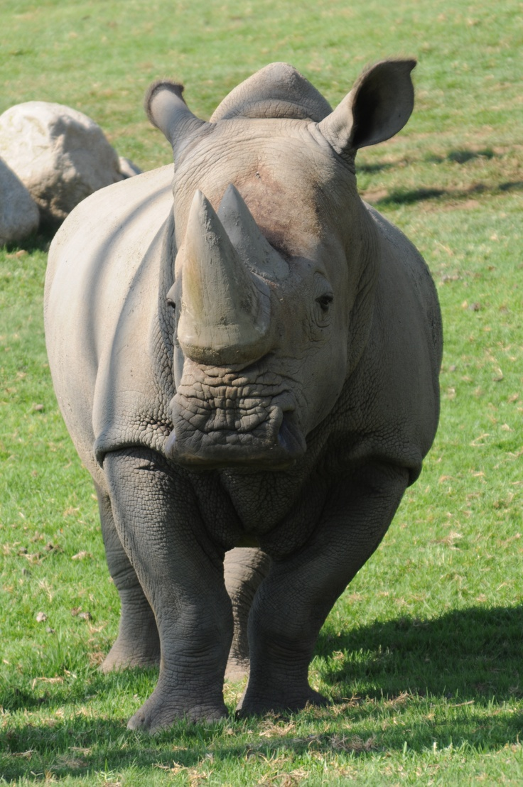 In celebration of Endangered Species Day, here is one of the best conservation comebacks -- the white rhino!: Animal Planets, Endangered Threaten Vulner, Celebrity, White Rhinos, Endangered Species, Hippo Rhinos, Animals Mammals Rhinos, Diego Zoos, Conservation Comebacks