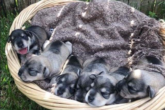 Calaz Has Miniature Schnauzer Puppies For Sale In Houston Tx On Akc Puppyfinder Schnauzer Puppy Miniature Schnauzer Puppies Miniature Schnauzer