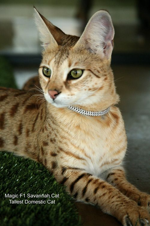 love Savannah cats...thank you Chanda for rubbing it in that you have one! lol