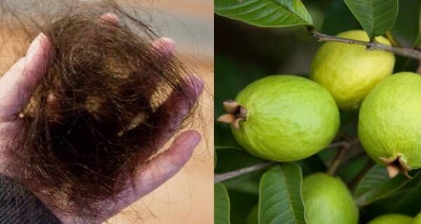 folhas de goiaba para curar a queda de cabelos